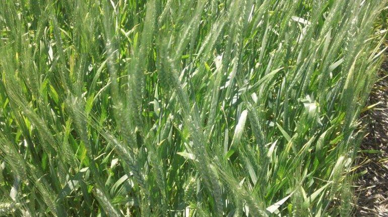 100 mil ha planeadas con trigo pasarían a la gruesa
