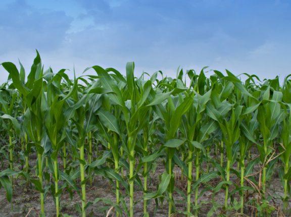 Se estiman 44 M Tn para el maíz 2018/19
