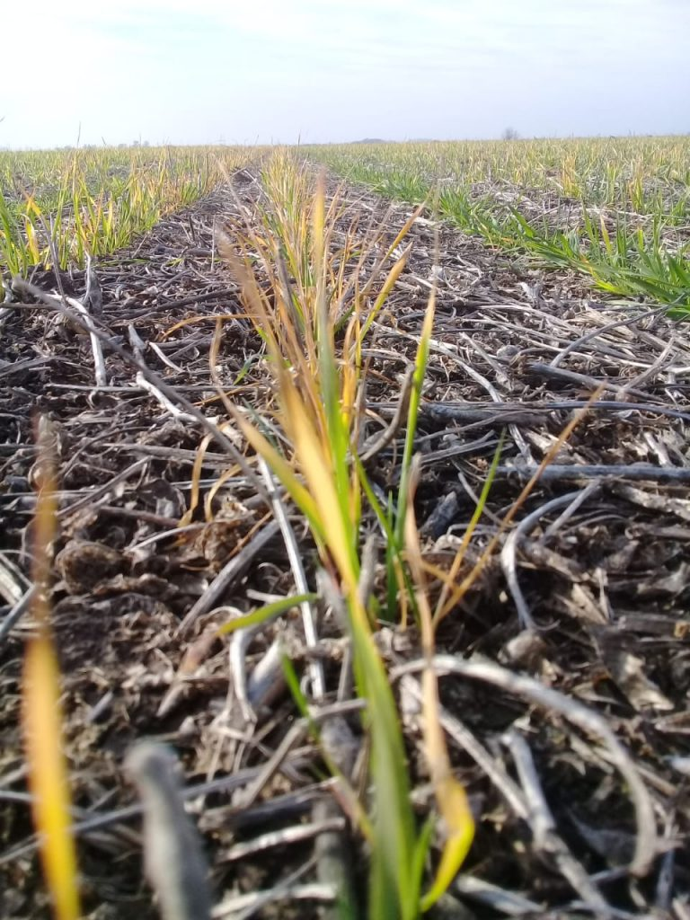 Así viene el trigo en la zona