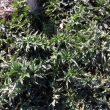 Carduus acanthoides: nuevo caso de resistencia a herbicidas