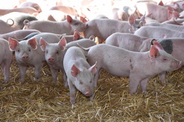Evaluación económica de la actividad porcina en la empresa agropecuaria